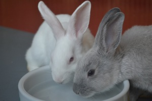 Two of the many baby bunnies that come to our shelter.